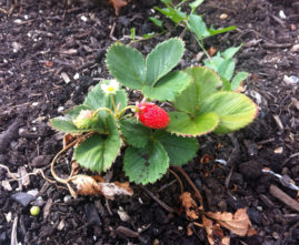 Strawberries start to produce