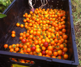 Loads of cherry tomatoes
